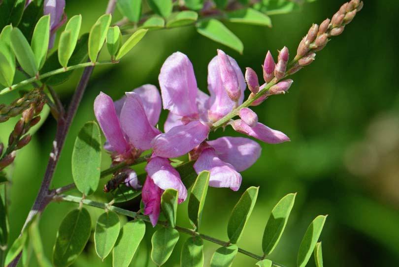 Neelini (Indigo Herb) Health Benefits [Amazing Plant]