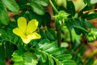 Health Benefits of Tribulus Terrestris - Plant with flowers and seed pod