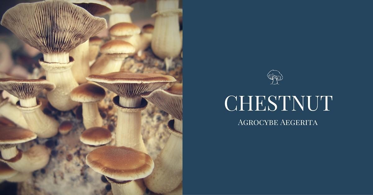 chestnut mushroom agrocybe aegerita