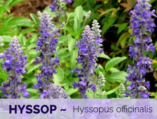 hyssop health benefits