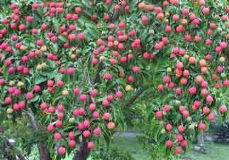 kousa dogwood fruit cornus cornelian cher