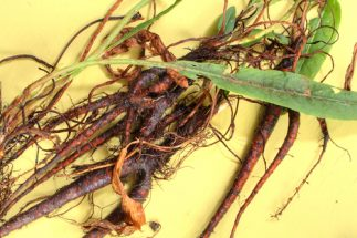 Health Benefits of Yellow Dock Root - Roots and leaves