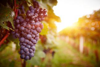 Health Benefits of Grape Seed Extract - Grape vine