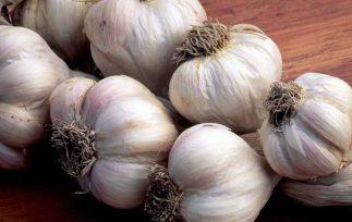 garlic for ticks